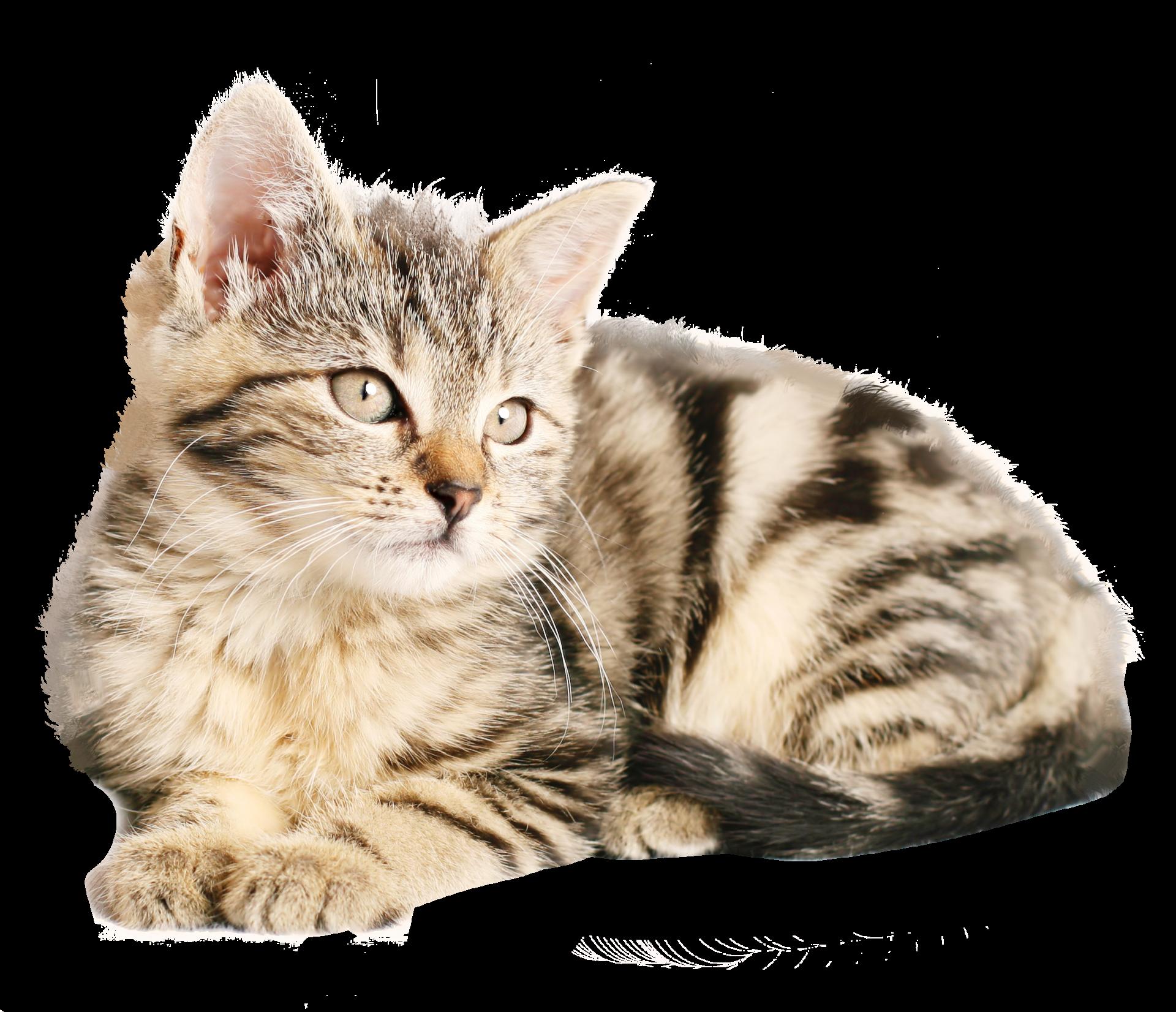 kisspng-tabby-cat-kitten-dog-popular-cat-names-cat-5a7525870c7e86.5601295415176267590512